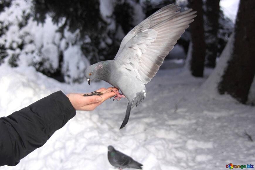 Кормление голубя осенью и зимой