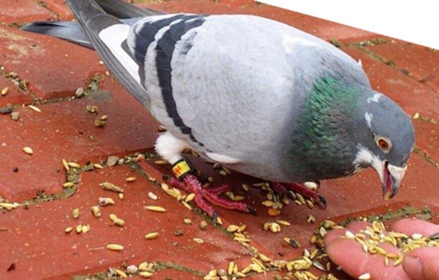 голуби едят Овсяные хлопья