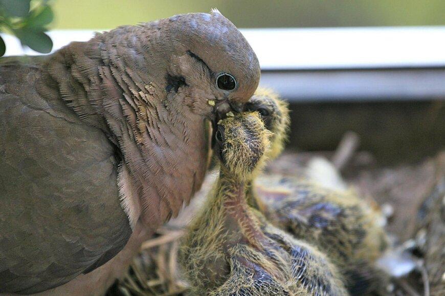 что едят птенцы голубей