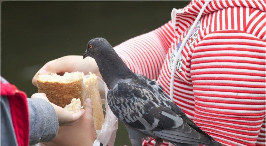 Голуби едят хлеб