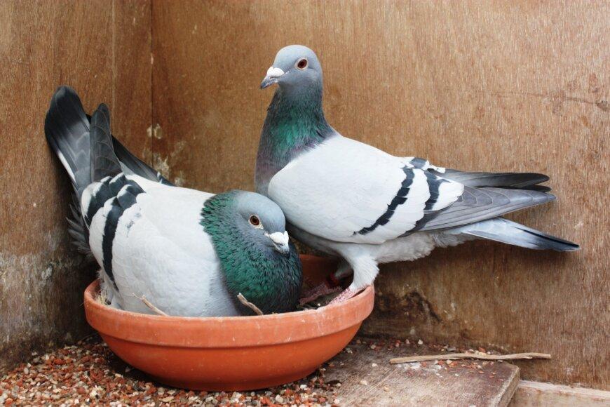 Что едят голуби в период спаривания