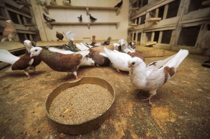 Как часто давать корм голубям