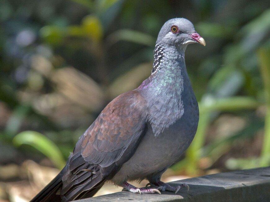 Конголезский дикий голубь