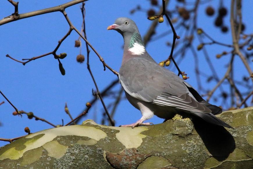 Отличия дикий и лесных голубей