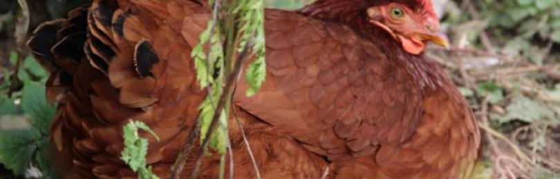 Кубанская красная курица