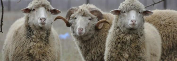 Цигайская овца