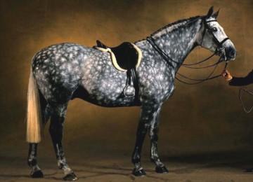 Конкурные породы лошадей