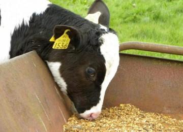 Как запустить желудок у теленка при его остановке?