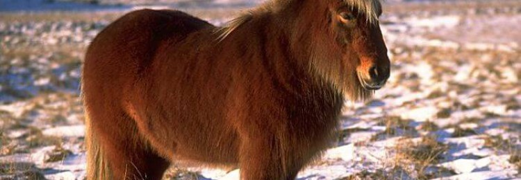 Лошади монгольской породы
