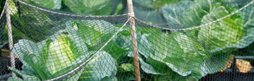 Обработка капусты пищевой содой от вредителей