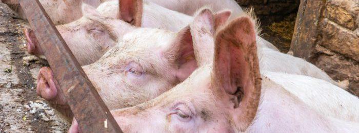 Свиньи в хлеву