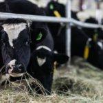 Правильное содержание черно-пестрой коровы