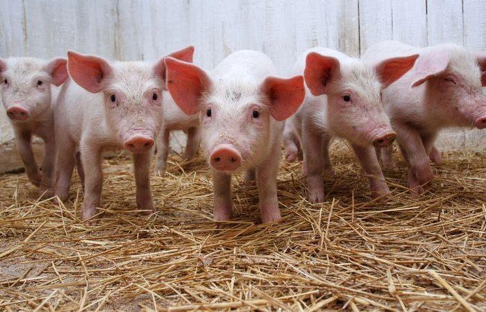 Свиньи сами вырабатывают достаточно тепла