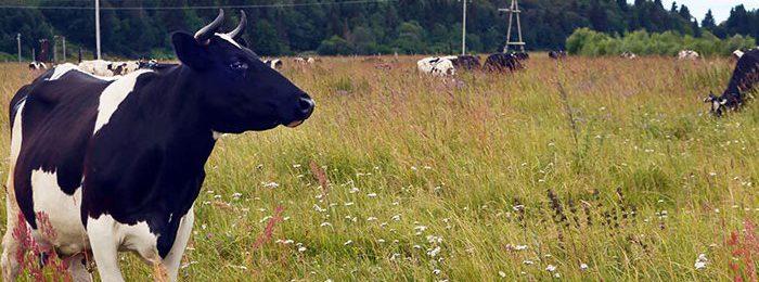 Холмогорская порода коров
