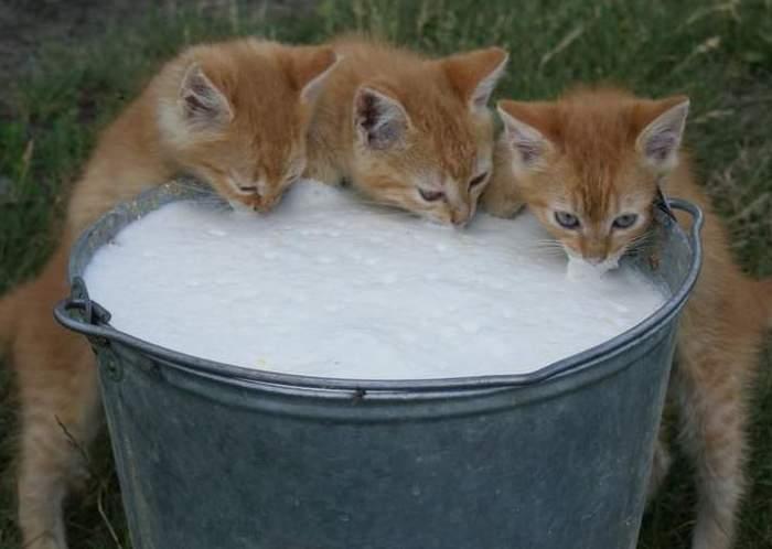 Молоко холмогорок питательное, жирное и вкусное