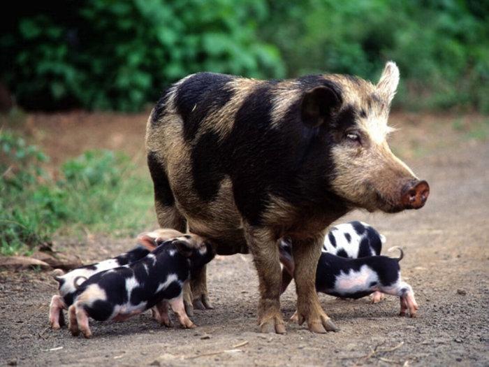 Белорусские черно-пестрые свиньи