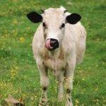 У коровы могут течь слюни