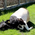 Отравление коровы с летальным исходом