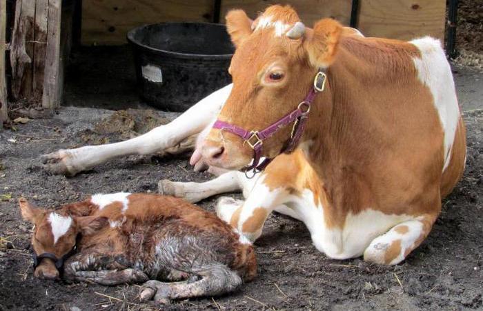 Корова после отела