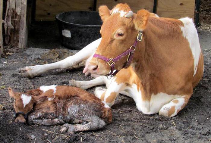 Корова с теленком после отела