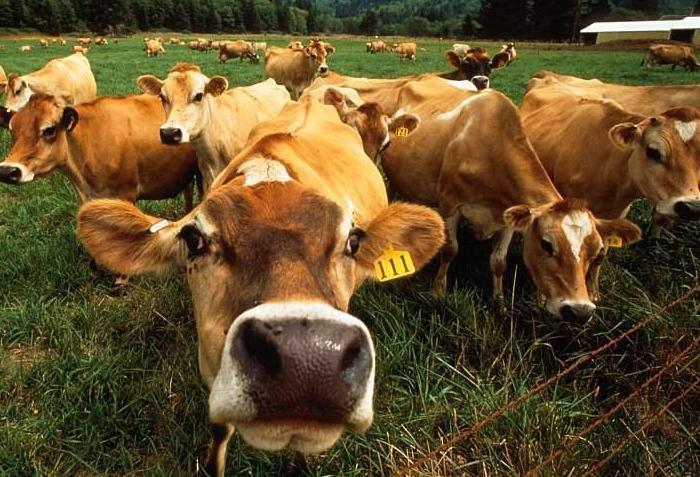 Диарея у коровы
