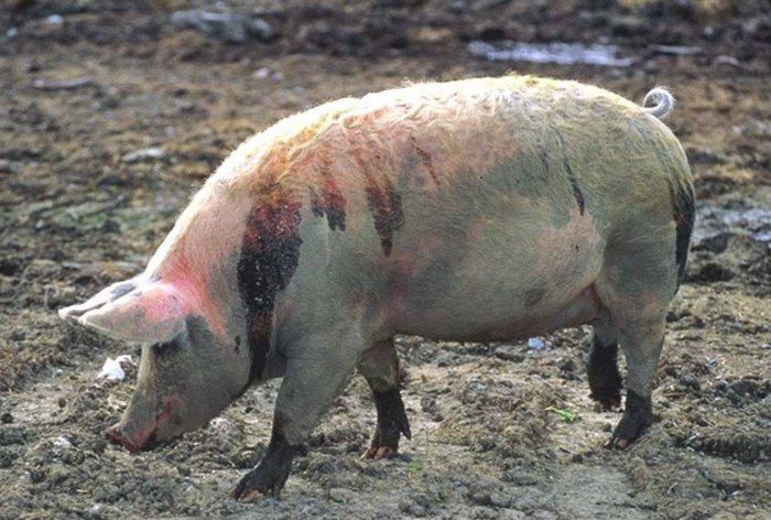 Больная свинья