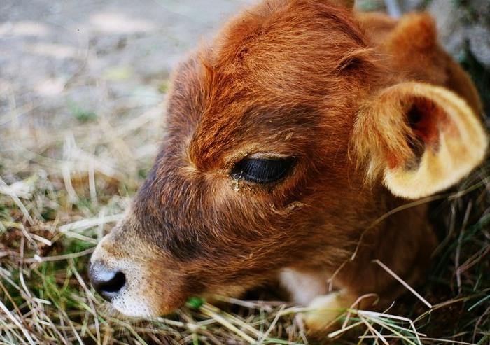 Остановка желудка у теленка
