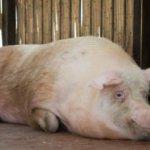 Супоросность свиноматки