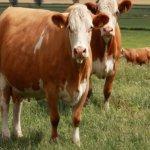 Сычевская корова