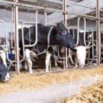 Привязное содержание коров