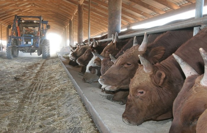 Выращивание бычков на мясо