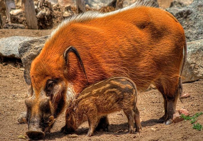 Кистеухая свинья не очень плодовита