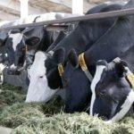 Питание коров