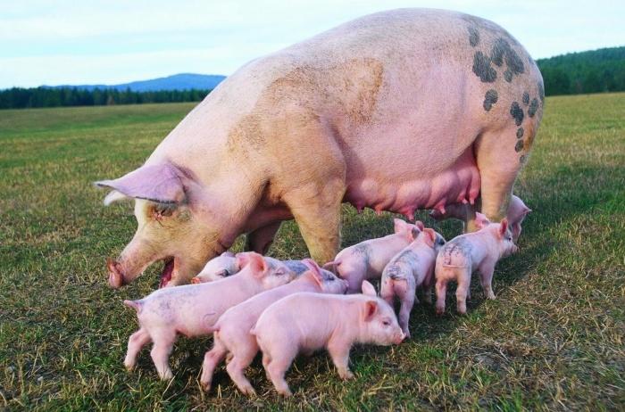 Свинья с поросятами Пьетрен