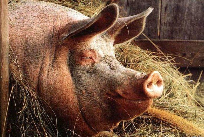 Отечная патология свиней