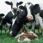 Отел коровы