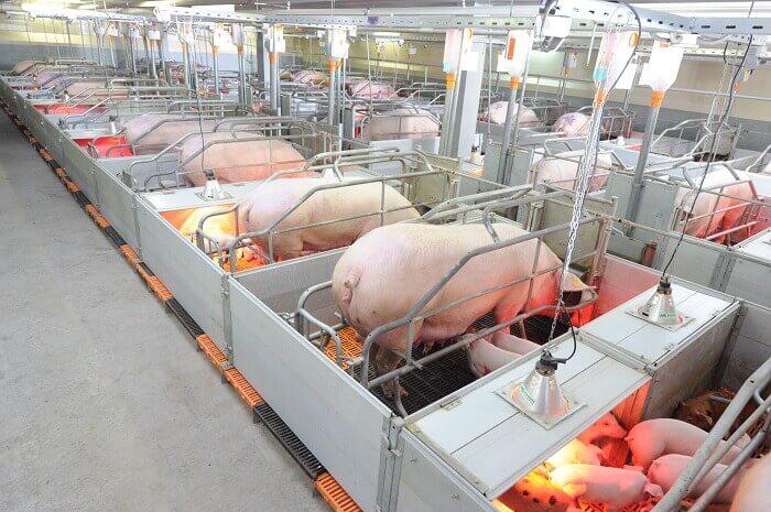 Безвыгульная система содержания свиней