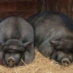 Вьетнамская порода свиней