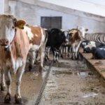 Беспривязной метод содержания коров