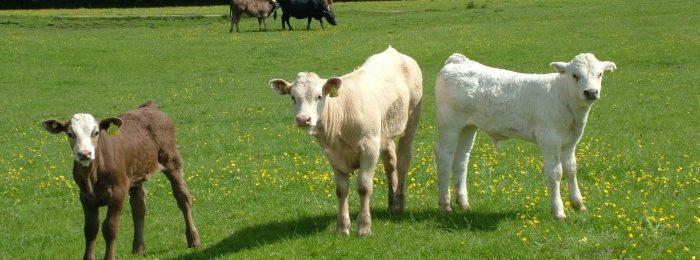 Зеленая трава для телят