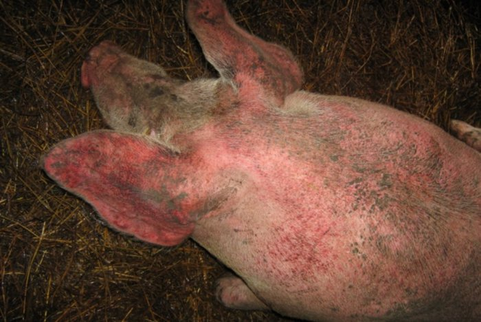 Чесоточные клещи у свиньи