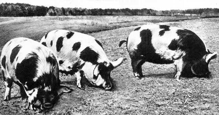 Северокавказские свиньи