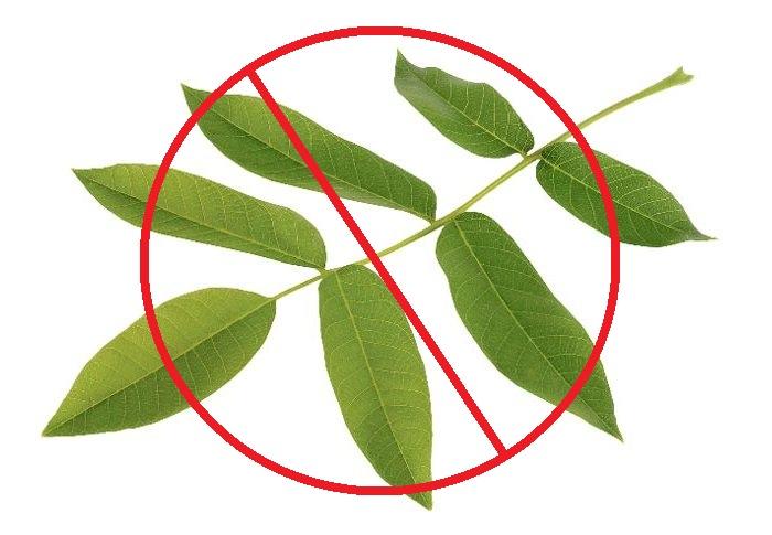 Листья ореха запрещены