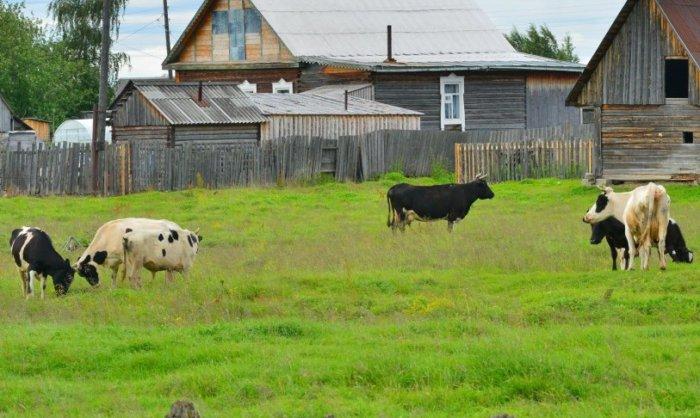 На пастбище коровы иногда травмируют друг друга