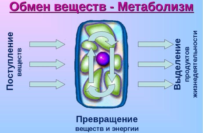 Постная свинина ускоряет метаболизм