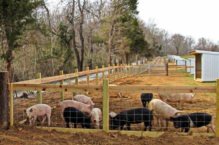 Выгульная система содержания свиней