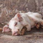 Пастереллез у свиньи