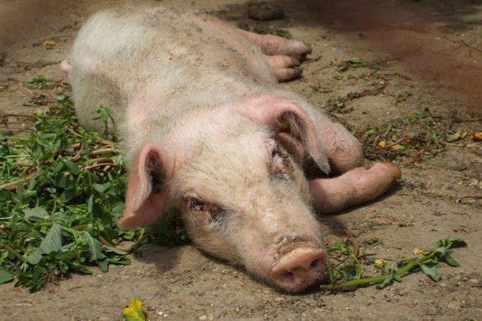 Респираторно-репродуктивный синдром у свиньи