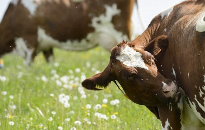 Шея у коровы повёрнута