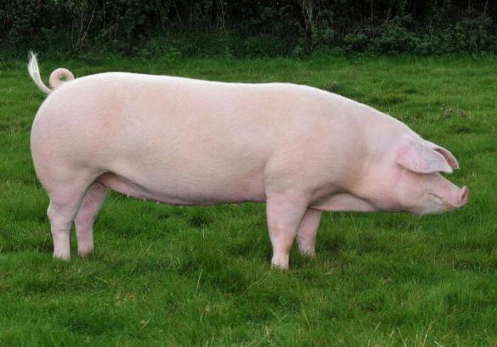 Порода травоядных свиней